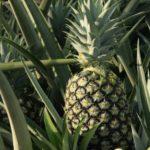 I benefici della pianta dell'ananas, nel nuovo integratore alimentare Florigel