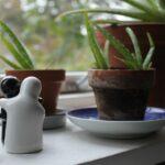 Come coltivare aloe vera nella propria casa